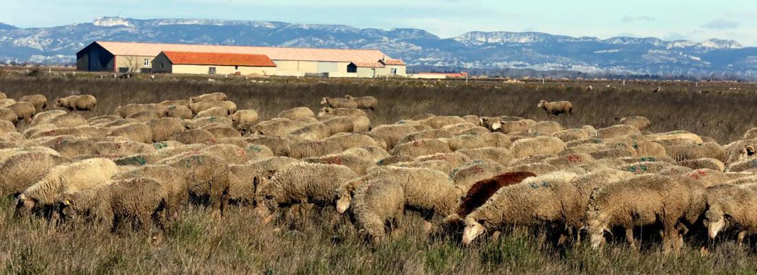 réserve crau mouton