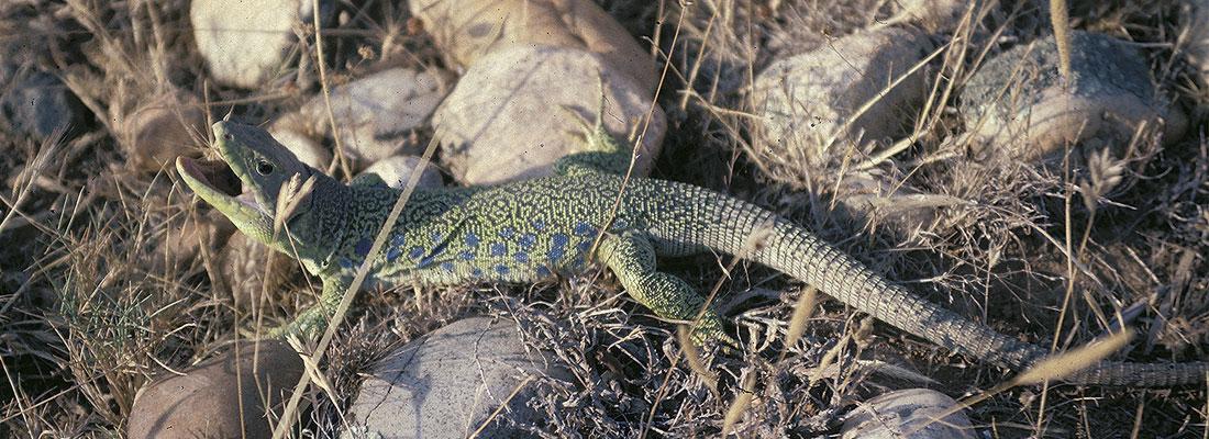 réserve crau reptile